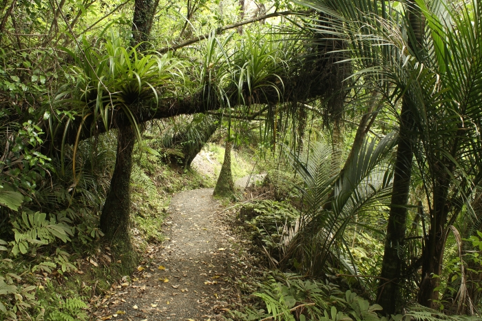 footpath in rain forest at Waitakere Ranges