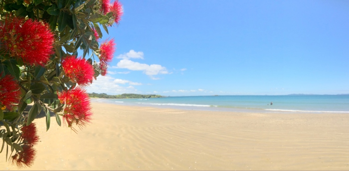 Panoramic view of  Pohutukawa red flowers blossom on December
